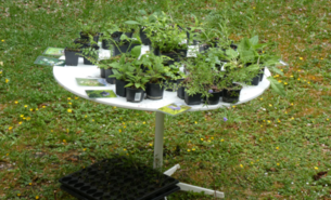 Improvisierter Wildpflanzen-Verkaufstisch für EINE Kundin.
