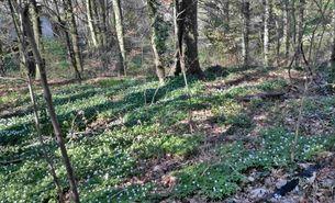 BUND Tipp Blühende Wälder entdecken_Lynn