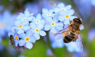 Fliege und Biene auf Vergissmeinnicht
