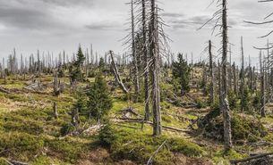 Waldsterben_Bayrischer Wald_Borkenkäfer